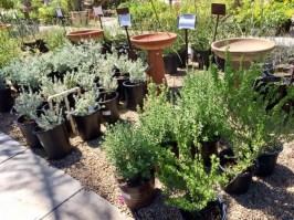 Nursery plants for arizona bees—native