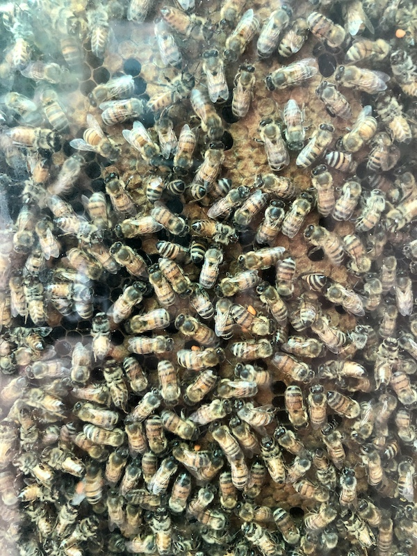 observation hive bees