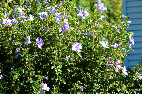 blue_rose_of_sharon