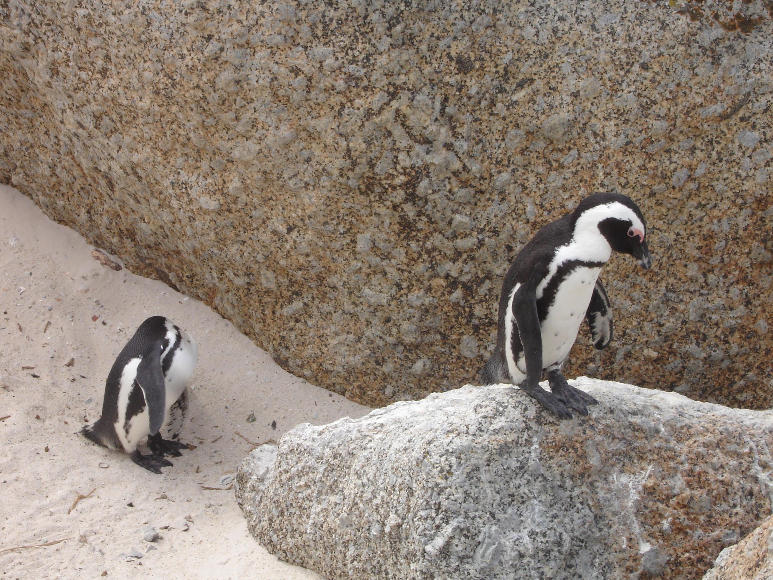 African Peguins