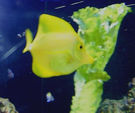 Entre um mergulho e outro, o peixinho amarelo se alimenta com alface
