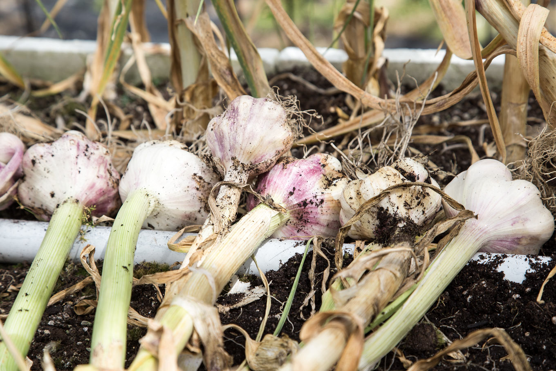 Purple Check Garlic Drying
