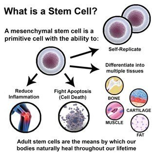 Stem cells are pluripotent