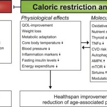Anti-aging interventions: CR and Fasting