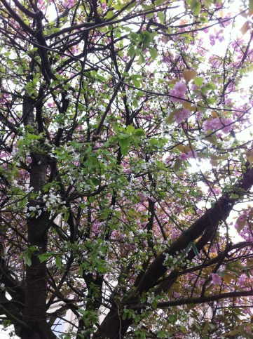 One of Garnethill's many beautiful trees