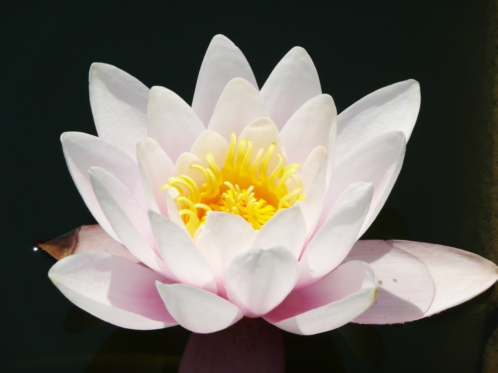 The lotus flower, a symbol of karma.