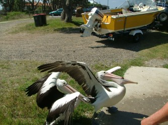 Pelicans feeding on the fish cleanings