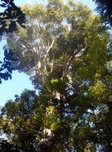 In the upper canpoy Dorrigo Rainforest