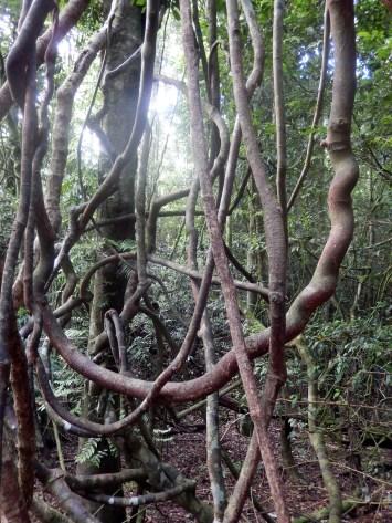 Strangler Vines Dorrigo Rainforest