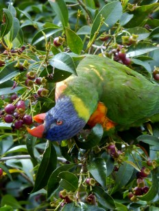 Rainbow Lorikeet Tamworth 2014