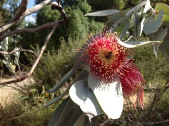 Eucalyptus Macrocarpa, Kings Park Botanic Gardens, May 2016