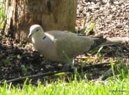 Eurasian Collard Dove (2005)
