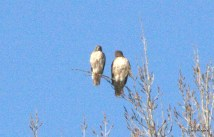 These Red Tailed Hawkes have nested in a Cottonwood tree near the Agua Fria River for more than 15 years. 2011 was the first year no chick was produced.