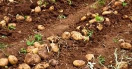 Kartoffel setzen Abstand und Tiefe