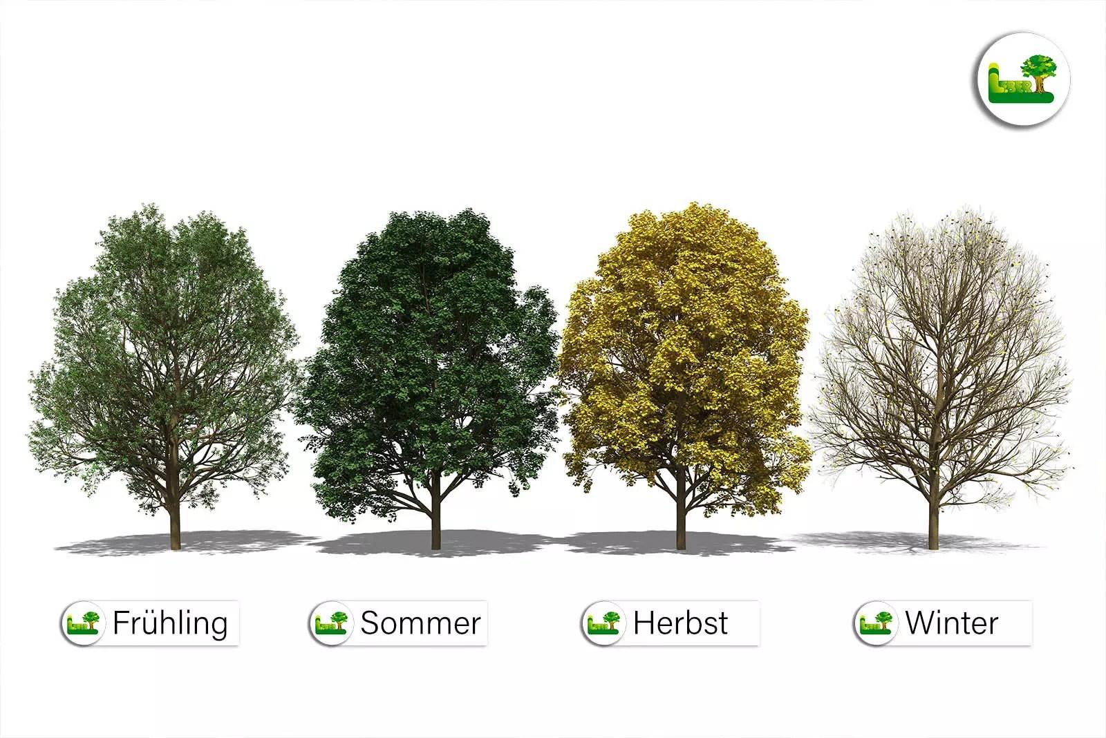 Der Bergahorn (Acer pseudoplantanus)