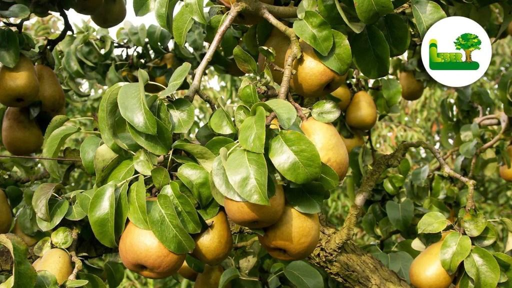 Erntereife gelbe 'Gellerts Butterbirne' am Baum. Sehr beliebte Tafelbirnensorte in der Steiermark. Botanischer Name: Pyrus communis 'Beurre Hardy'