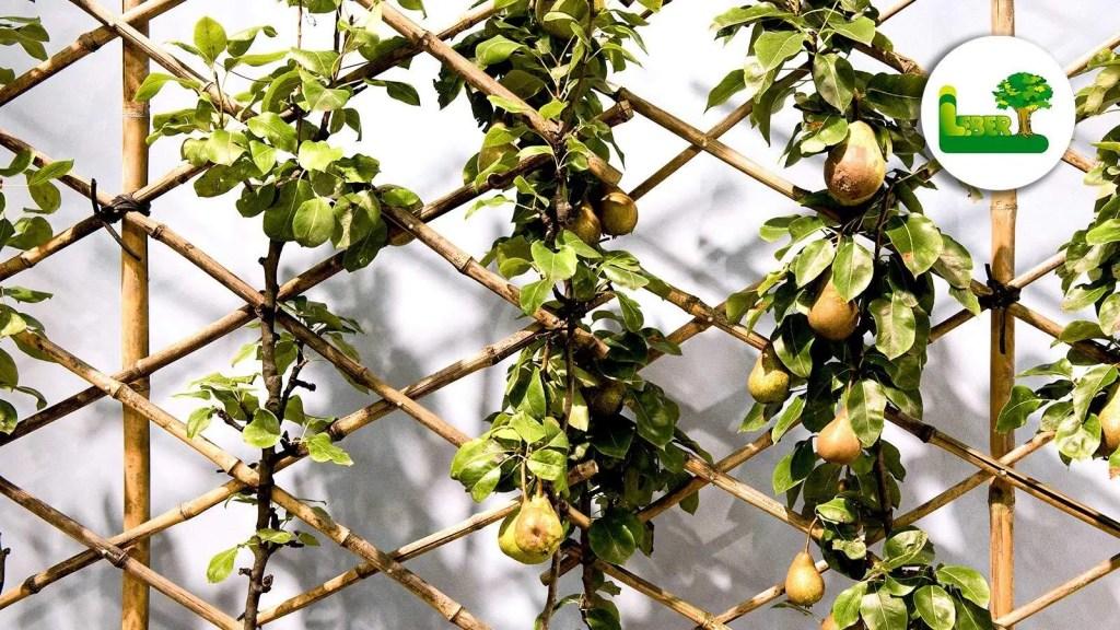 Birnen am Spaier? Birnbaum auf Spalier. Wandgarten mit Spaliergerüst. Am besten einige Sorten, sodass von Sommer bis Herbst frische Birnen geernet werden können. - Garten Leber Steiermark.