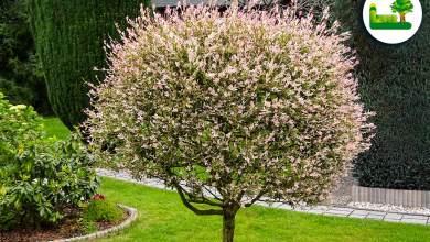 Harlekinweide im Garten - einzigartiger Blickfang - Pflege, Standort, Setzen und vieles mehr - Garten Leber Steiermark