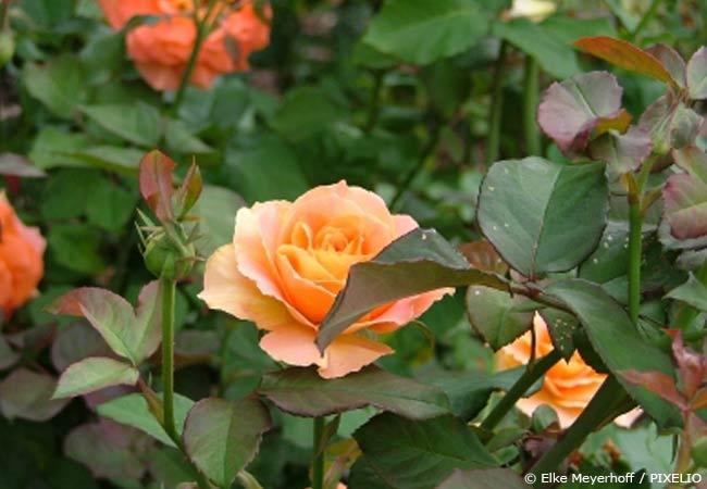 Was hilft gegen Rosenkrankheiten  Garten  HausXXL  Garten  HausXXL