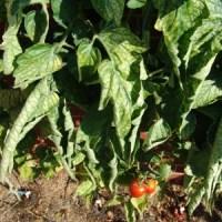 Roter Nil - Tomantensorte