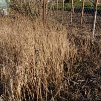 Brennessel als Nutzpflanze - Winter