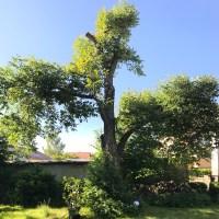 Walnussbaum Mai 2018