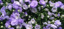 Knifflige Karpaten-Glockenblume