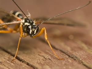 Schlupfwespen  wirkungsvoll gegen Motten