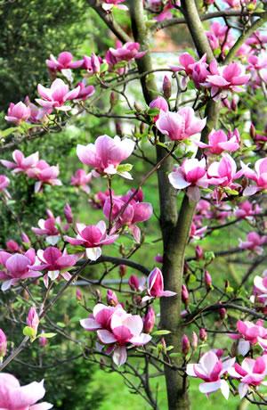 Magnolie  Magnolienbaum  Pflege  Schneiden  Tulpen