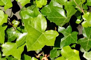 Beliebte immergrne winterharte Kletterpflanzen