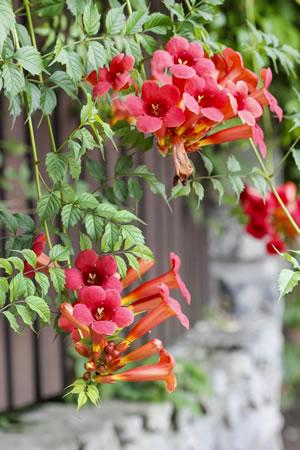 Trompetenblume Campsis  Pflege Vermehren und berwintern