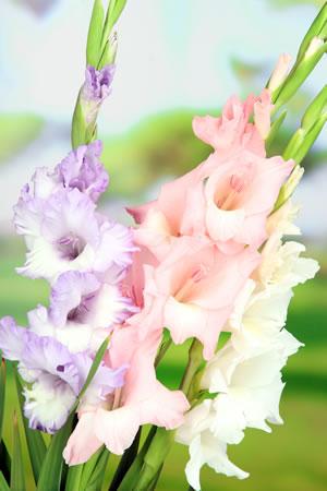 Gladiolen Gladiolus  Pflanzen Pflege und berwintern
