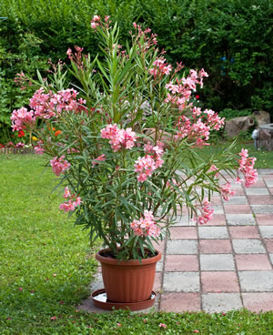 Oleander Pflege Schneiden Vermehren Und Überwintern