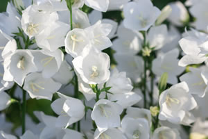Glockenblume  Pflege  Sorten