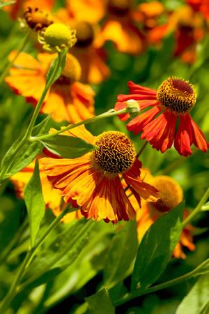 Sonnenbraut Helenium  Pflanzen Pflege und Sorten