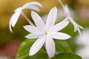 JasminPflanze  Pflege Schneiden  berwintern