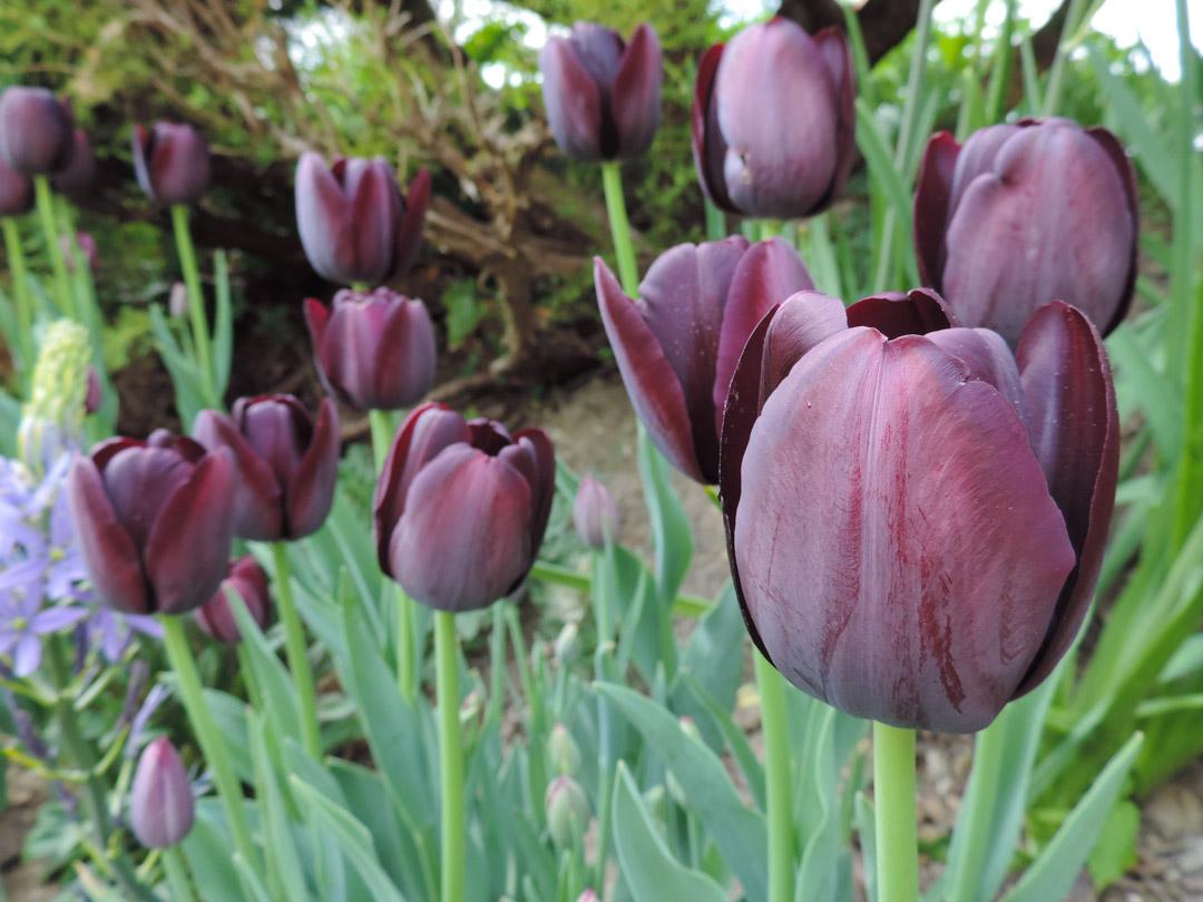 Blumenzwiebeln eine Beschreibung von tollen Geophyten