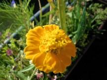 Wildblume ähnlich Tagetes