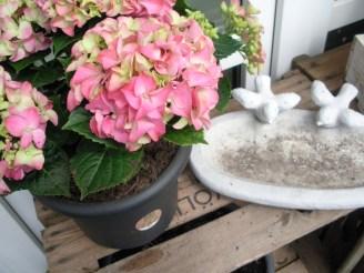 Rosé farbend blühende Hortensie im Sommer.