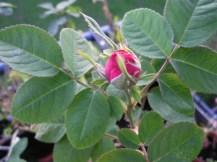 Eine kleine, runde rose-farbende Blütenknospe an einer Rose.