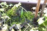 Kleins grünes Blatt eines Schneeglöckchens