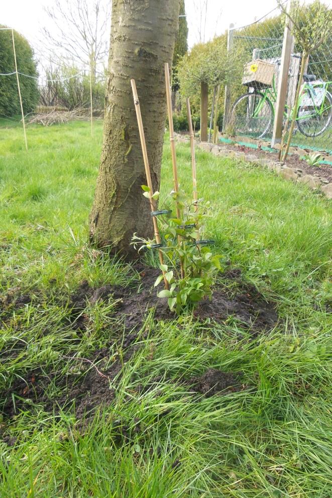 Ein Baumstamm an den eine rankende Pflanze mit Stöckern den Baum hinausgeleitet wird.