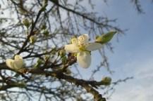 Weiße Blüte an einem ansonsten kahlen Baum.