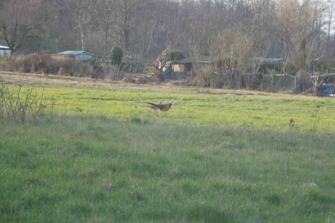 Ein männlicher und ein weiblicher Fasan auf einem Feld.