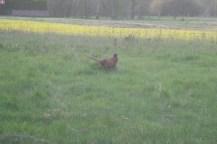 Ein männlicher Fasan auf einem Feld.