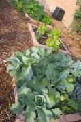 Blumenkohl und Salate in einem Beet
