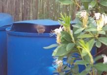 Kleiner, brauner Vogel startet gerade vom Rand einer Regentonne zum Flug