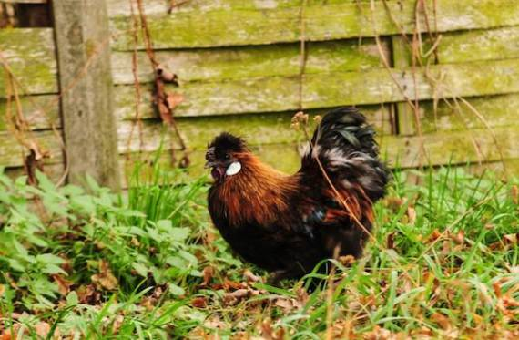 This Silkie hen is a small beauty