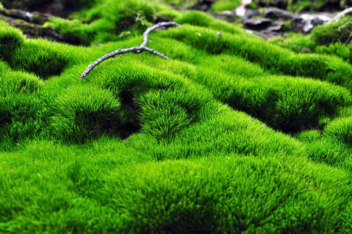 Moos Als Bodendecker » So Pflanzen Und Pflegen Sie Es