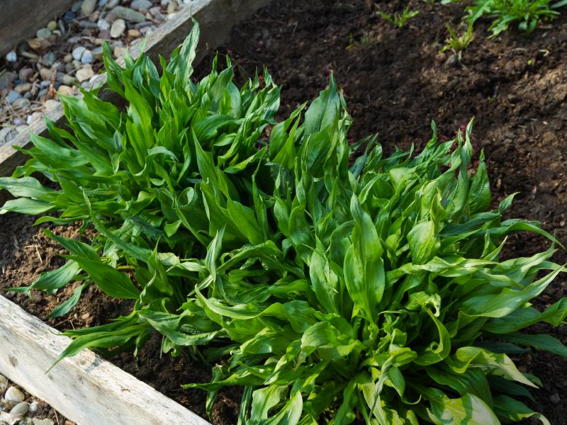 Schwarzwurzelanbau Im Garten » So Gelingt Er Kinderleicht